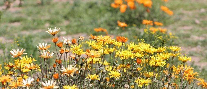 Apache Junction Wildflowers