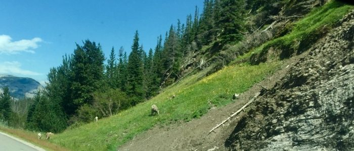 Bighorn Sheep East of Jasper (7446)