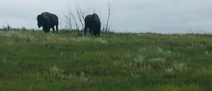 Theodore Roosevelt Natl Park Buffalo (7498)